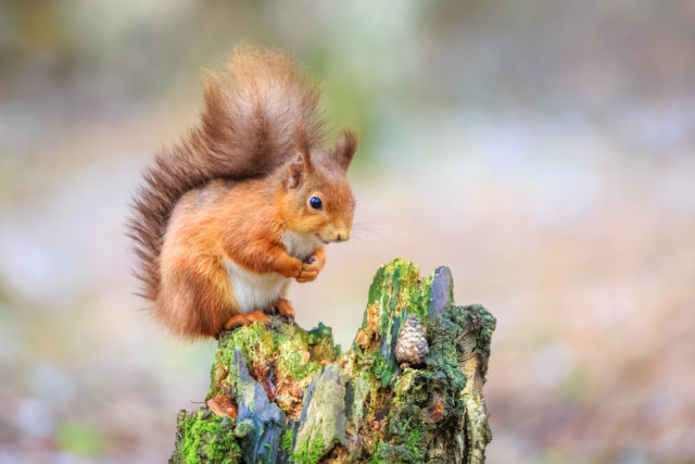 The Isle of Wight Red Squirrel Trust conservation project funded by The Naturesave Trust